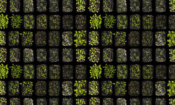 Seedlings in trays, viewed from above